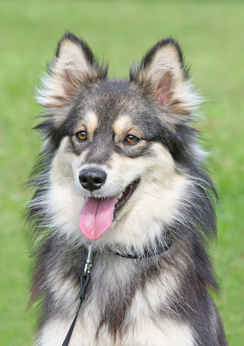 Relaxed by Mia Ikonen - Animals - Dogs Portraits ( canine, calm, finnish lapphund, pet, relaxed, beautiful, finland, summer, dog, expressive, mia ikonen )