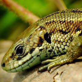 Viviparous Lizard by Pat Somers - Animals Reptiles