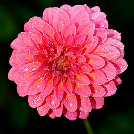 Dalhia pommé by Gérard CHATENET - Flowers Single Flower