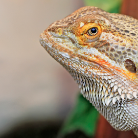 by Ian Fearn - Animals Reptiles