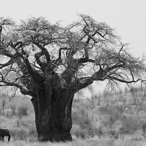 Elephant by VAM Photography - Animals Other Mammals ( b&w, nature, elephant, baobab tree, tanzania, landscape )