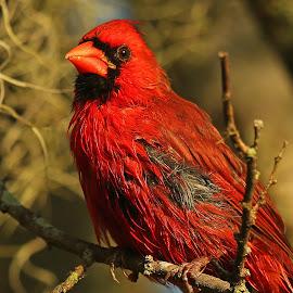 Cardinal ! by Anthony Goldman - Animals Birds ( bird, male.circle b bar treserve, lakeland, cardinal, florida. )