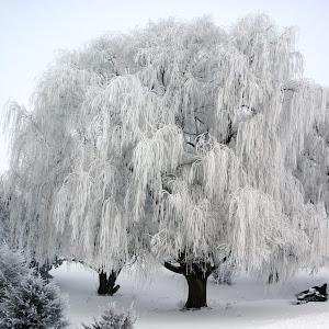 frost trees 2-12-10_3276_edited-1.jpg