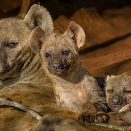 Family Portrait of a hyena family by the den by Nobby Clarke - Animals Other ( wild, nature, park, pup, wildlife, africa, hyena, mammal,  )