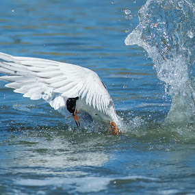 Forster's tern diving to catch fish by Alex Sam - Animals Birds ( bird, forster's tern, diving to catch fish )