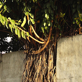 Wall broken by the root by Cristiane Ouricchio - Nature Up Close Trees & Bushes (  )