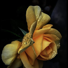 Golden Rose by Suzy Sutton - Nature Up Close Natural Waterdrops
