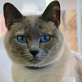 Mr. Blue by Barbara Brock - Animals - Cats Portraits ( cat, cat with blue eyes, pet, feline, kitty )