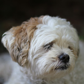 Zoe by Brian Lymer - Animals - Dogs Portraits ( resting, park, white, dog, profile )