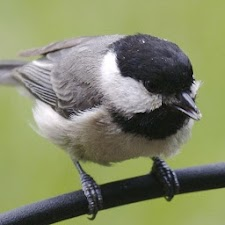 Cute Chickadees Wallpapers