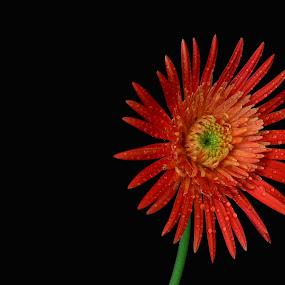 Wet Double Daisy by Jared Van Bergen - Nature Up Close Flowers - 2011-2013 ( double daisy, photos, water, red, nature, flowers, photography, droplets )