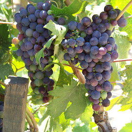 Almost Ready to Pick by Christine B. - Nature Up Close Gardens & Produce ( purple, grapes, california, vine, ripening,  )