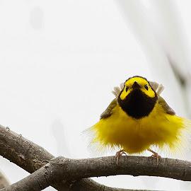 Yellow Bird by Bert Shepley - Uncategorized All Uncategorized ( natural light, nature, nature up close, nature photography, nature close up, natural, birds )
