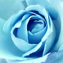 Rose Close-up Part 2 by Ioana Husar - Novices Only Flowers & Plants ( rose, light blue, nature, garden, flower )
