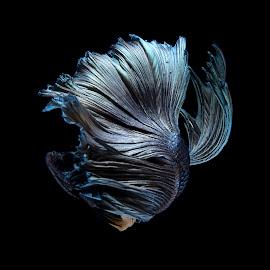 Betta fish by Pisith Song - Animals Fish ( macro, underwater, pet, fish, close up )