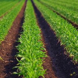 Corn Coming Up Wallis  5433 by Jim Suter - Nature Up Close Gardens & Produce (  )