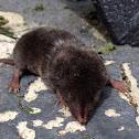 Shrew, Southern Shortell shrew,