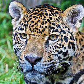 by Sergio Tohtli - Animals Lions, Tigers & Big Cats ( impresi�n 17 febr 2011 )