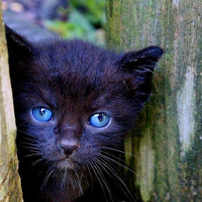 Baby Blues by Sandy Darnstaedt - Animals - Cats Portraits (  )