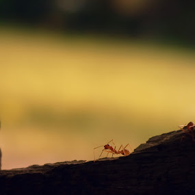 who goes there? by Arjun Vjy - Animals Insects & Spiders ( macro, red, fujifilm, kerala, ant )