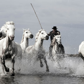 Round up  by Helen Matten - Animals Horses ( water, of, wild, horses, racing, guardians, camargue, white, south, france )