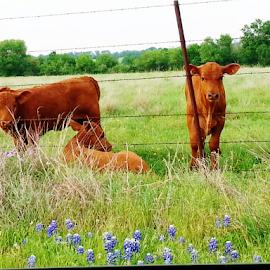 by K Dawn McDonald - Animals Other ( field, grass, blue bonnets, cows )