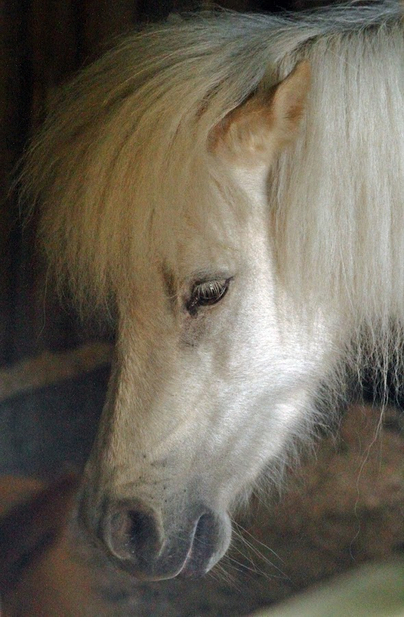 Pony Portrait by Greg Van Dugteren - Animals Horses