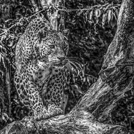 Leopard by Garry Chisholm - Black & White Animals ( leopard, nature, mammal, big cat, garry chisholm )