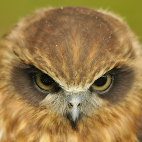 look into my eyes by Chris Pepper - Animals Birds