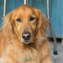 please by Meaghan Browning - Animals - Dogs Portraits ( headshot, please, looking at camera, serious, golden retriever )
