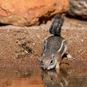 Time for a drink by Ruth Jolly - Animals Other Mammals ( squirrel drinking, antelope ground squirrel, nature, wildlife, squirrel, animal,  )
