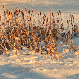 On the Edge of the Pond by Patricia Phillips - Nature Up Close Leaves & Grasses ( cattails anchorage frozen alaska winter )