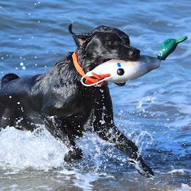 I got it dad !!! by Raphael RaCcoon - Animals - Dogs Running ( training, duck, beach, dog, running )