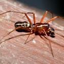 Sheetweb Spider