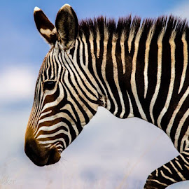 Mountain Zebra  by Johann Bekker - Novices Only Wildlife
