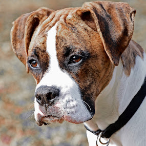 Brindle Boxer Portrait by Donna Nicklas - Animals - Dogs Portraits ( boxer, brindle, puppy, dog, portrait )