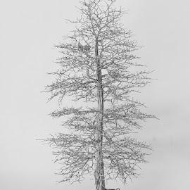 Cedar Tree made with stainless steel.  by Carol Mickey - Digital Art Things ( cedar tree, wire tree )