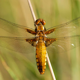 Just resting I. by Bencik Juraj - Animals Insects & Spiders ( insect, dragonfly, close up )