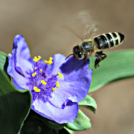 Bee Purple by Mary Kaye Zugelder - Nature Up Close Other plants ( plant, purple, bee, green, spiderwort, summer )