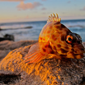fish out of water by Leimaile Guerrero - Animals Fish ( fish, sunset, rock fish, fish out of water )