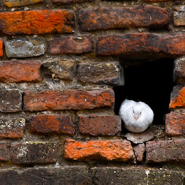Another brick in the wall by Lajos E - Buildings & Architecture Architectural Detail ( pigeon, belgrade, brick, kalemegdan, belgrad, white, beograd, fort, dove, fortress, serbia, wall, hole )