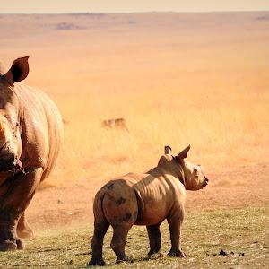 Rhino Baby1.JPG