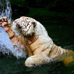 Crouching Tiger by Alit  Apriyana - Animals Other Mammals