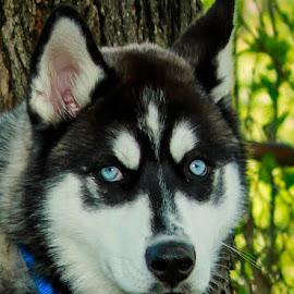 Mug Shot by Troy Oster - Animals - Dogs Portraits ( siberian husky, pet, blue eyes, puppy portrait, friend, portrait )