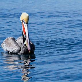 Pelican at Rest by John M. Larson - Animals Birds ( water, bird, reflection, nature, wildlife, ocean, brown pelican, pelican,  )