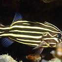 Six-Lined Soapfish