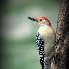 Woody by Anita Frazer - Animals Birds ( bird, red-bellied, amimal, woodpecker,  )
