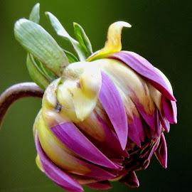 DAHLIA by SANGEETA MENA  - Flowers Flower Buds