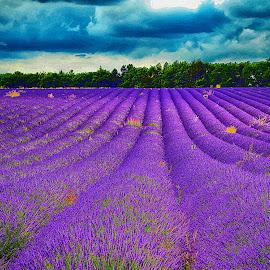 Lavender by Kevin Morris - Landscapes Prairies, Meadows & Fields