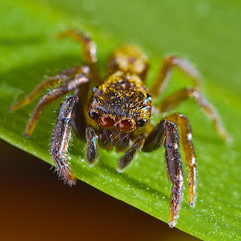 Jumping spider by Allan Cox - Animals Insects & Spiders ( hairy, macro, legs, spider, eyes,  )